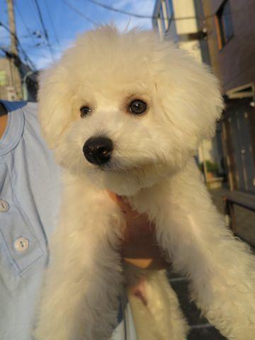 ビションフリーゼこいぬ子犬フントヒュッテ東京かわいいビションフリーゼ関東ビション文京区ビションフリーゼ画像ビションフリーゼおんなのこ姉妹メス子犬_709.jpg