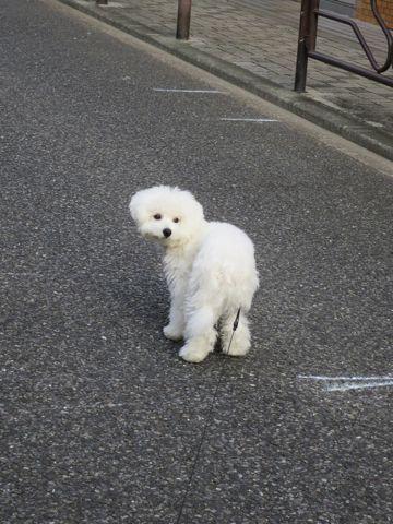 ビションフリーゼこいぬ子犬フントヒュッテ東京かわいいビションフリーゼ関東ビション文京区ビションフリーゼ画像ビションフリーゼおんなのこ姉妹メス子犬_712.jpg