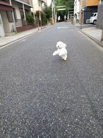 ビションフリーゼこいぬ子犬フントヒュッテ東京かわいいビションフリーゼ関東ビション文京区ビションフリーゼ画像ビションフリーゼおんなのこ姉妹メス子犬_713.jpg