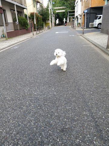 ビションフリーゼこいぬ子犬フントヒュッテ東京かわいいビションフリーゼ関東ビション文京区ビションフリーゼ画像ビションフリーゼおんなのこ姉妹メス子犬_714.jpg