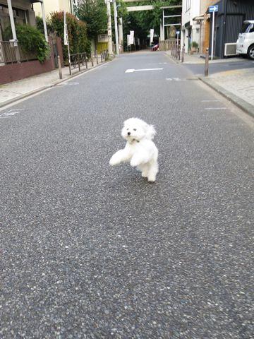 ビションフリーゼこいぬ子犬フントヒュッテ東京かわいいビションフリーゼ関東ビション文京区ビションフリーゼ画像ビションフリーゼおんなのこ姉妹メス子犬_715.jpg