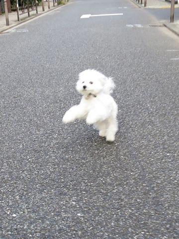 ビションフリーゼこいぬ子犬フントヒュッテ東京かわいいビションフリーゼ関東ビション文京区ビションフリーゼ画像ビションフリーゼおんなのこ姉妹メス子犬_716.jpg
