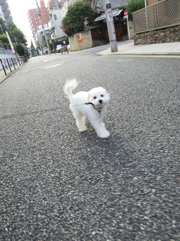ビションフリーゼこいぬ子犬フントヒュッテ東京かわいいビションフリーゼ関東ビション文京区ビションフリーゼ画像ビションフリーゼおんなのこ姉妹メス子犬_717.jpg
