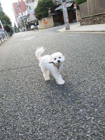 ビションフリーゼこいぬ子犬フントヒュッテ東京かわいいビションフリーゼ関東ビション文京区ビションフリーゼ画像ビションフリーゼおんなのこ姉妹メス子犬_718.jpg
