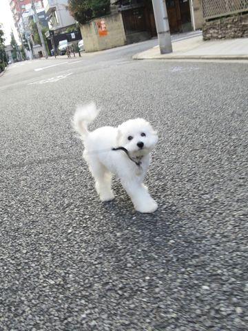 ビションフリーゼこいぬ子犬フントヒュッテ東京かわいいビションフリーゼ関東ビション文京区ビションフリーゼ画像ビションフリーゼおんなのこ姉妹メス子犬_719.jpg