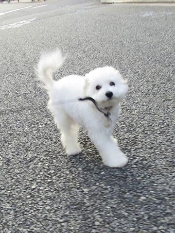 ビションフリーゼこいぬ子犬フントヒュッテ東京かわいいビションフリーゼ関東ビション文京区ビションフリーゼ画像ビションフリーゼおんなのこ姉妹メス子犬_720.jpg