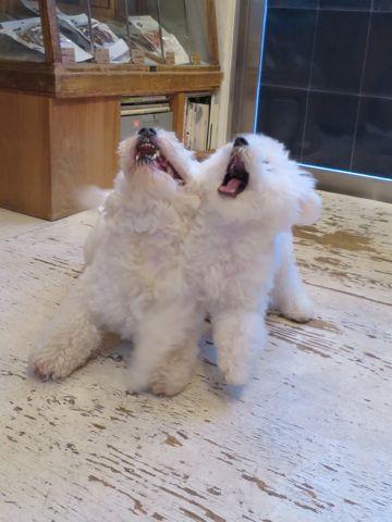 ビションフリーゼこいぬ子犬フントヒュッテ東京かわいいビションフリーゼ関東ビション文京区ビションフリーゼ画像ビションフリーゼおんなのこ姉妹メス子犬_722.jpg