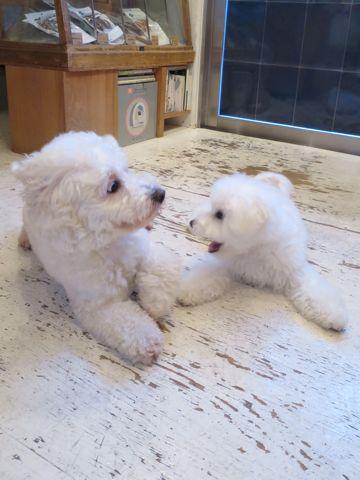 ビションフリーゼこいぬ子犬フントヒュッテ東京かわいいビションフリーゼ関東ビション文京区ビションフリーゼ画像ビションフリーゼおんなのこ姉妹メス子犬_724.jpg