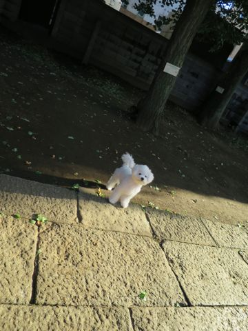 ビションフリーゼこいぬ子犬フントヒュッテ東京かわいいビションフリーゼ関東ビション文京区ビションフリーゼ画像ビションフリーゼおんなのこ姉妹メス子犬_728.jpg