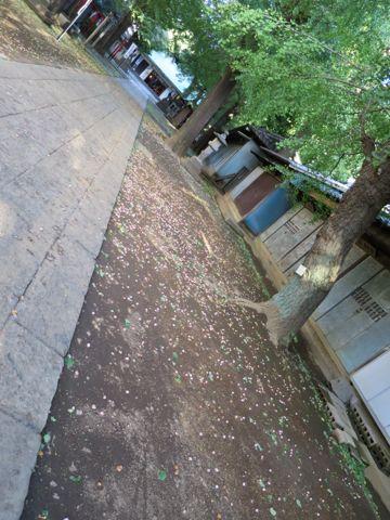 ビションフリーゼこいぬ子犬フントヒュッテ東京かわいいビションフリーゼ関東ビション文京区ビションフリーゼ画像ビションフリーゼおんなのこ姉妹メス子犬_729.jpg