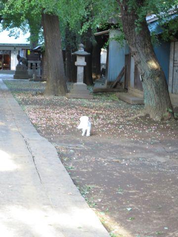 ビションフリーゼこいぬ子犬フントヒュッテ東京かわいいビションフリーゼ関東ビション文京区ビションフリーゼ画像ビションフリーゼおんなのこ姉妹メス子犬_730.jpg