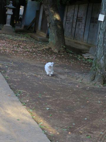 ビションフリーゼこいぬ子犬フントヒュッテ東京かわいいビションフリーゼ関東ビション文京区ビションフリーゼ画像ビションフリーゼおんなのこ姉妹メス子犬_731.jpg