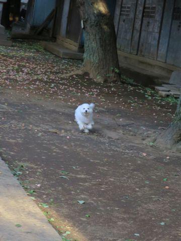 ビションフリーゼこいぬ子犬フントヒュッテ東京かわいいビションフリーゼ関東ビション文京区ビションフリーゼ画像ビションフリーゼおんなのこ姉妹メス子犬_732.jpg