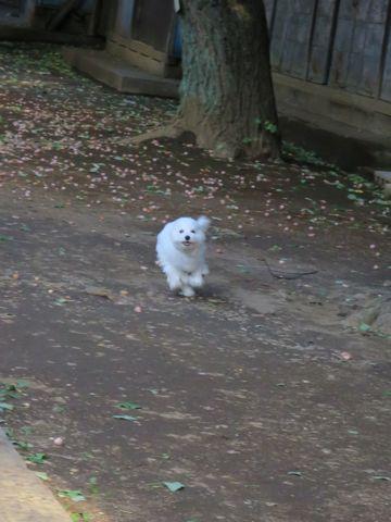 ビションフリーゼこいぬ子犬フントヒュッテ東京かわいいビションフリーゼ関東ビション文京区ビションフリーゼ画像ビションフリーゼおんなのこ姉妹メス子犬_733.jpg