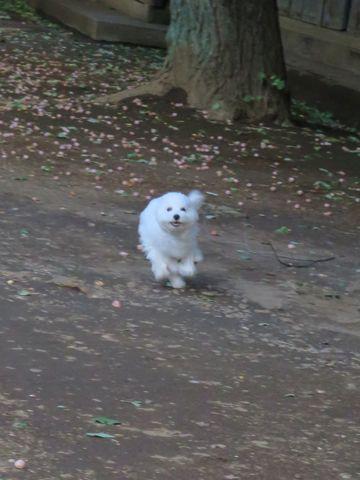 ビションフリーゼこいぬ子犬フントヒュッテ東京かわいいビションフリーゼ関東ビション文京区ビションフリーゼ画像ビションフリーゼおんなのこ姉妹メス子犬_734.jpg