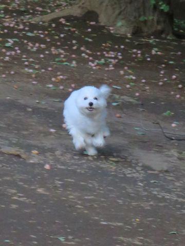 ビションフリーゼこいぬ子犬フントヒュッテ東京かわいいビションフリーゼ関東ビション文京区ビションフリーゼ画像ビションフリーゼおんなのこ姉妹メス子犬_735.jpg