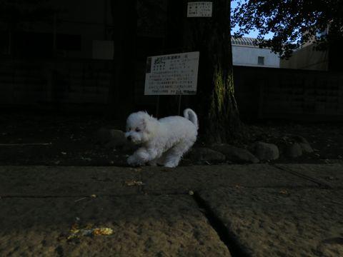 ビションフリーゼこいぬ子犬フントヒュッテ東京かわいいビションフリーゼ関東ビション文京区ビションフリーゼ画像ビションフリーゼおんなのこ姉妹メス子犬_737.jpg