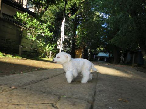 ビションフリーゼこいぬ子犬フントヒュッテ東京かわいいビションフリーゼ関東ビション文京区ビションフリーゼ画像ビションフリーゼおんなのこ姉妹メス子犬_738.jpg