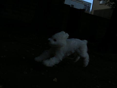 ビションフリーゼこいぬ子犬フントヒュッテ東京かわいいビションフリーゼ関東ビション文京区ビションフリーゼ画像ビションフリーゼおんなのこ姉妹メス子犬_739.jpg