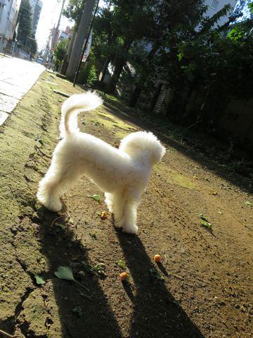 ビションフリーゼこいぬ子犬フントヒュッテ東京かわいいビションフリーゼ関東ビション文京区ビションフリーゼ画像ビションフリーゼおんなのこ姉妹メス子犬_741.jpg