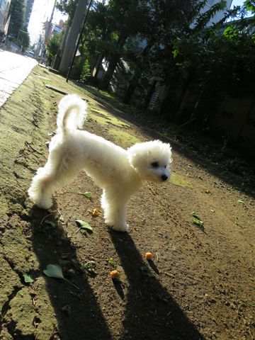 ビションフリーゼこいぬ子犬フントヒュッテ東京かわいいビションフリーゼ関東ビション文京区ビションフリーゼ画像ビションフリーゼおんなのこ姉妹メス子犬_742.jpg