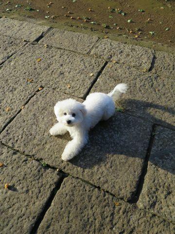 ビションフリーゼこいぬ子犬フントヒュッテ東京かわいいビションフリーゼ関東ビション文京区ビションフリーゼ画像ビションフリーゼおんなのこ姉妹メス子犬_745.jpg