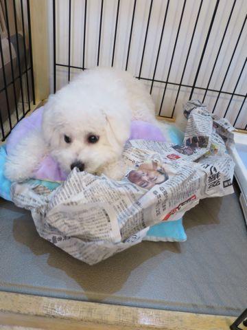 ビションフリーゼこいぬ子犬フントヒュッテ東京かわいいビションフリーゼ関東ビション文京区ビションフリーゼ画像ビションフリーゼおんなのこ姉妹メス子犬_747.jpg