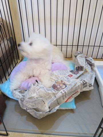 ビションフリーゼこいぬ子犬フントヒュッテ東京かわいいビションフリーゼ関東ビション文京区ビションフリーゼ画像ビションフリーゼおんなのこ姉妹メス子犬_749.jpg