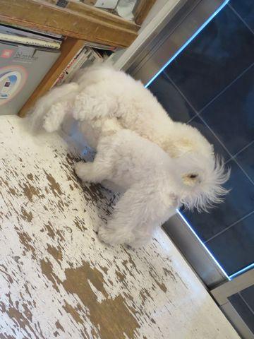 ビションフリーゼこいぬ子犬フントヒュッテ東京かわいいビションフリーゼ関東ビション文京区ビションフリーゼ画像ビションフリーゼおんなのこ姉妹メス子犬_750.jpg