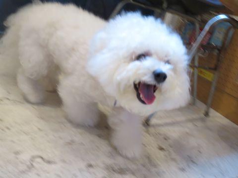 ビションフリーゼこいぬ子犬フントヒュッテ東京かわいいビションフリーゼ関東ビション文京区ビションフリーゼ画像ビションフリーゼおんなのこ姉妹メス子犬_752.jpg