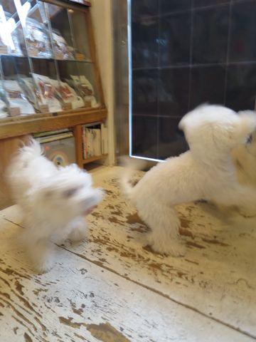 ビションフリーゼこいぬ子犬フントヒュッテ東京かわいいビションフリーゼ関東ビション文京区ビションフリーゼ画像ビションフリーゼおんなのこ姉妹メス子犬_756.jpg