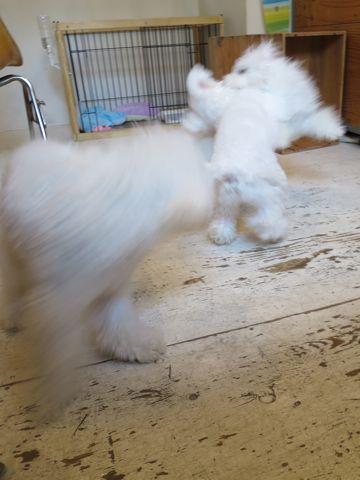 ビションフリーゼこいぬ子犬フントヒュッテ東京かわいいビションフリーゼ関東ビション文京区ビションフリーゼ画像ビションフリーゼおんなのこ姉妹メス子犬_757.jpg