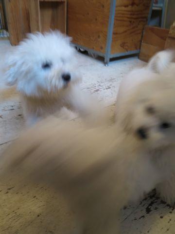 ビションフリーゼこいぬ子犬フントヒュッテ東京かわいいビションフリーゼ関東ビション文京区ビションフリーゼ画像ビションフリーゼおんなのこ姉妹メス子犬_758.jpg