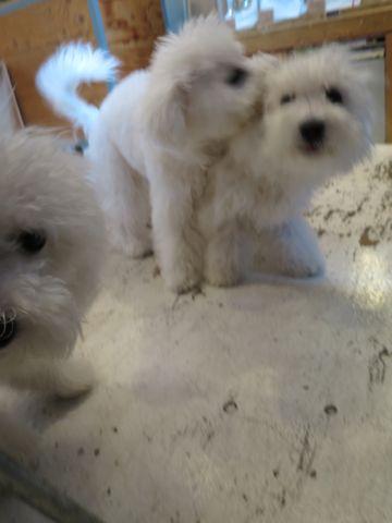 ビションフリーゼこいぬ子犬フントヒュッテ東京かわいいビションフリーゼ関東ビション文京区ビションフリーゼ画像ビションフリーゼおんなのこ姉妹メス子犬_759.jpg