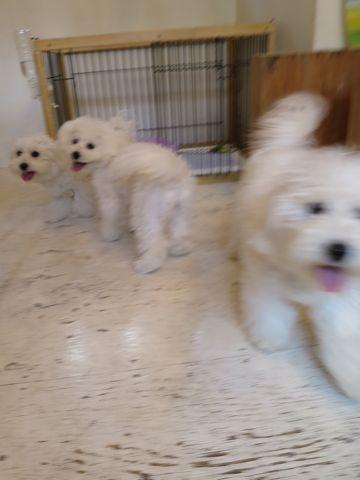 ビションフリーゼこいぬ子犬フントヒュッテ東京かわいいビションフリーゼ関東ビション文京区ビションフリーゼ画像ビションフリーゼおんなのこ姉妹メス子犬_761.jpg