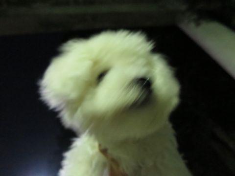 ビションフリーゼこいぬ子犬フントヒュッテ東京かわいいビションフリーゼ関東ビション文京区ビションフリーゼ画像ビションフリーゼおんなのこ姉妹メス子犬_762.jpg