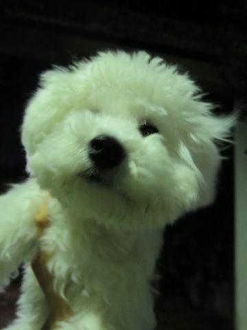 ビションフリーゼこいぬ子犬フントヒュッテ東京かわいいビションフリーゼ関東ビション文京区ビションフリーゼ画像ビションフリーゼおんなのこ姉妹メス子犬_763.jpg
