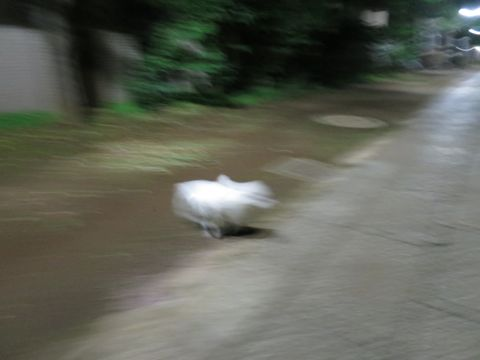 ビションフリーゼこいぬ子犬フントヒュッテ東京かわいいビションフリーゼ関東ビション文京区ビションフリーゼ画像ビションフリーゼおんなのこ姉妹メス子犬_764.jpg