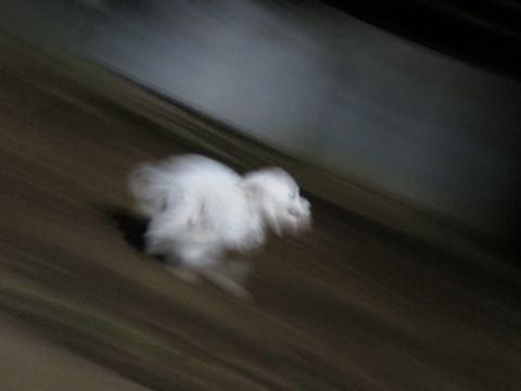 ビションフリーゼこいぬ子犬フントヒュッテ東京かわいいビションフリーゼ関東ビション文京区ビションフリーゼ画像ビションフリーゼおんなのこ姉妹メス子犬_766.jpg