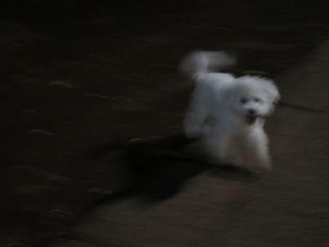 ビションフリーゼこいぬ子犬フントヒュッテ東京かわいいビションフリーゼ関東ビション文京区ビションフリーゼ画像ビションフリーゼおんなのこ姉妹メス子犬_772.jpg