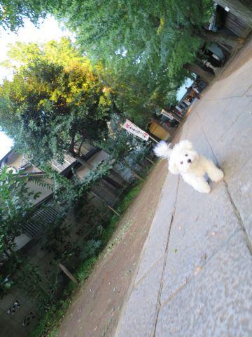 ビションフリーゼこいぬ子犬フントヒュッテ東京かわいいビションフリーゼ関東ビション文京区ビションフリーゼ画像ビションフリーゼおんなのこ姉妹メス子犬_775.jpg