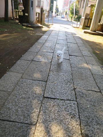 ビションフリーゼこいぬ子犬フントヒュッテ東京かわいいビションフリーゼ関東ビション文京区ビションフリーゼ画像ビションフリーゼおんなのこ姉妹メス子犬_777.jpg