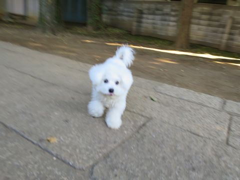 ビションフリーゼこいぬ子犬フントヒュッテ東京かわいいビションフリーゼ関東ビション文京区ビションフリーゼ画像ビションフリーゼおんなのこ姉妹メス子犬_778.jpg