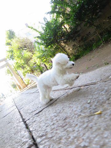 ビションフリーゼこいぬ子犬フントヒュッテ東京かわいいビションフリーゼ関東ビション文京区ビションフリーゼ画像ビションフリーゼおんなのこ姉妹メス子犬_779.jpg