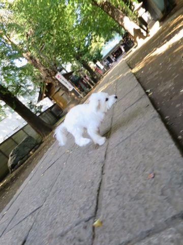 ビションフリーゼこいぬ子犬フントヒュッテ東京かわいいビションフリーゼ関東ビション文京区ビションフリーゼ画像ビションフリーゼおんなのこ姉妹メス子犬_780.jpg