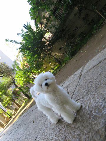 ビションフリーゼこいぬ子犬フントヒュッテ東京かわいいビションフリーゼ関東ビション文京区ビションフリーゼ画像ビションフリーゼおんなのこ姉妹メス子犬_781.jpg