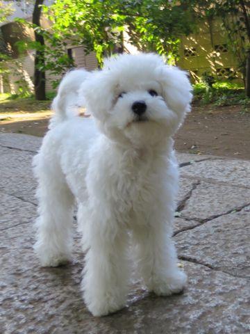ビションフリーゼこいぬ子犬フントヒュッテ東京かわいいビションフリーゼ関東ビション文京区ビションフリーゼ画像ビションフリーゼおんなのこ姉妹メス子犬_782.jpg