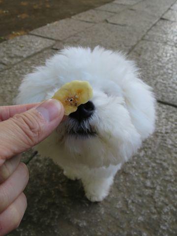 ビションフリーゼこいぬ子犬フントヒュッテ東京かわいいビションフリーゼ関東ビション文京区ビションフリーゼ画像ビションフリーゼおんなのこ姉妹メス子犬_783.jpg
