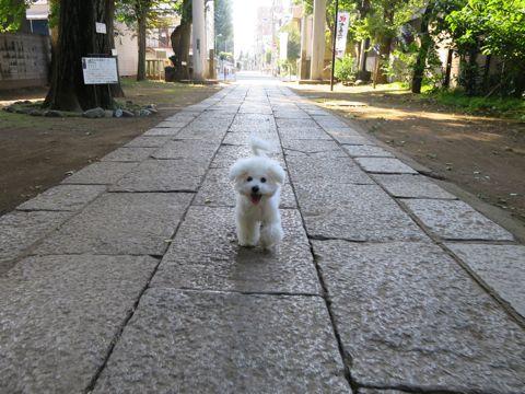 ビションフリーゼこいぬ子犬フントヒュッテ東京かわいいビションフリーゼ関東ビション文京区ビションフリーゼ画像ビションフリーゼおんなのこ姉妹メス子犬_792.jpg