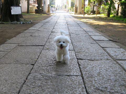 ビションフリーゼこいぬ子犬フントヒュッテ東京かわいいビションフリーゼ関東ビション文京区ビションフリーゼ画像ビションフリーゼおんなのこ姉妹メス子犬_793.jpg